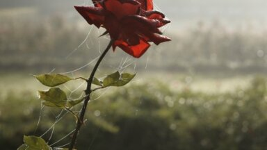 Oktobrī laiks ķerties klāt rozēm! Augu kopšana rudenī