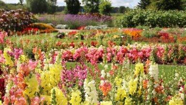 Bulduru mazā Rundāle: krāsaino ziedu kompozīcijas digitālajā dārzā
