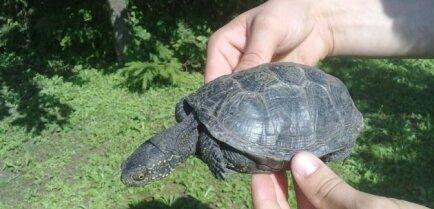 В Елгаве нашли редчайший вид черепахи