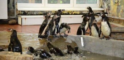 ФОТО: В Ригу приехали погостить пингвины