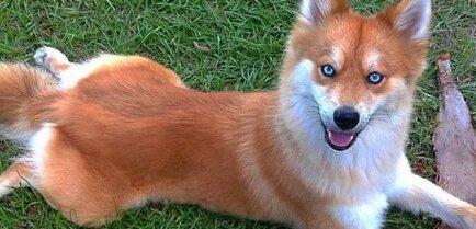 19 смешанных пород собак, о которых вы не знали, что они существуют