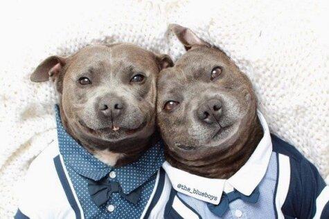Interneta varoņi: pasaulē paši jaukākie brālīši - pitbuli