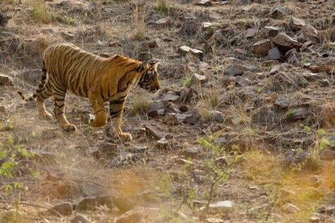 Iespaidīgs tuvplāns: tīģeris tiek pie savas pirmās maltītes