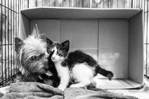 Этот брошенный йоркширский терьер заботился о двух котятах, как о своих щенках