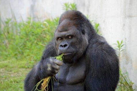 Japāņu sieviešu mīlulis - gorilla, kas izskatās pēc Džordža Klūnija