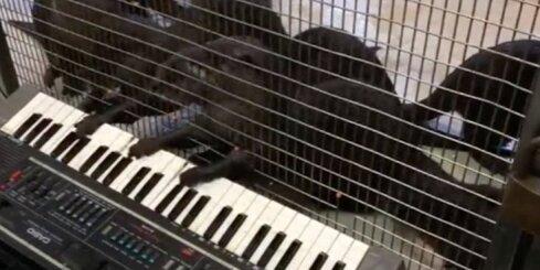 ASV zoodārzā dzīvniekiem liek spēlēt dažādus mūzikas instrumentus