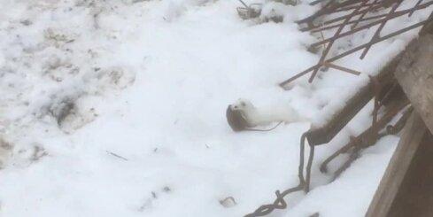 Aculiecinieku samulsina pagalmā pamanīts 'bezbailīgs dzīvnieciņš'