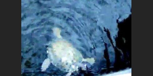 Purva bruņurupucis Daugavā