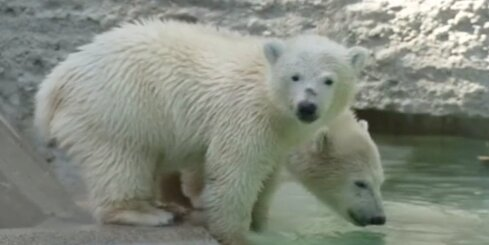 Vācijā zoodārza apmeklētājus priecē divi mazi lācēni