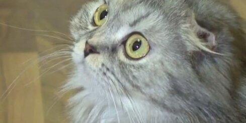 Kaķis, kas līdzīgs pūcei