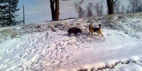 Mežacūka nobiedē suni