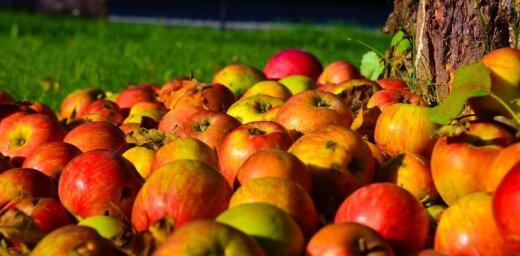 Augļu dārzos prognozē augļu koku vēža izplatības risku