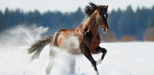 Vētrā Baltijas jūrā uz 'Tallink' prāmja bojā gājuši elitāri sporta zirgi