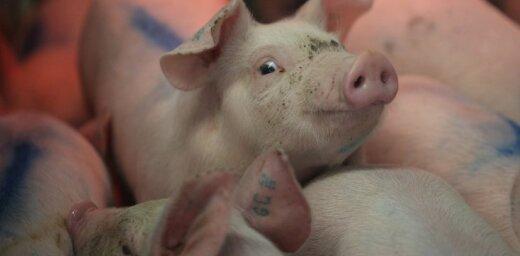 Ученые на 36 часов оживили мозг свиньи, отделенный от тела
