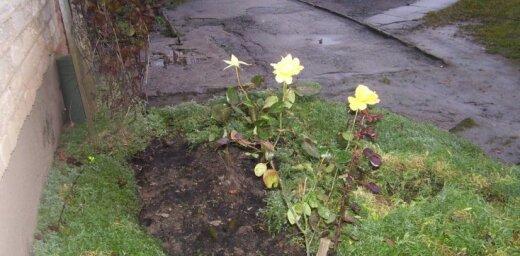 Decembrī zied rozes. Kas notiek ar dabu?