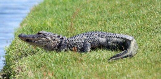 ВИДЕО: Аллигаторы подрались на поле для гольфа