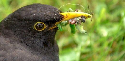 Foto: Strazds pagalmā ietur smalku maltīti
