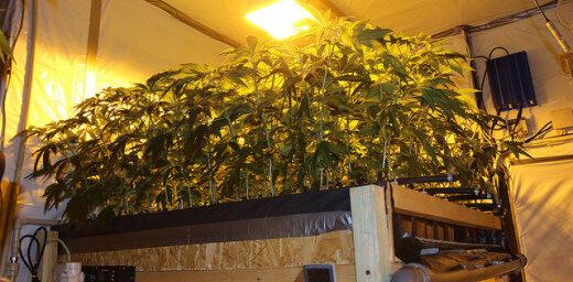Возле границы с Литвой обнаружили плантацию марихуаны