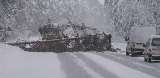 Autobraucēji no ceļa novāc kritušu egli