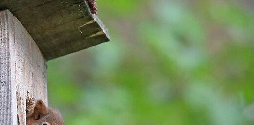 Krāšņi foto: Mīlīgi vāverēni iemājo Vārnukroga strazdu būros