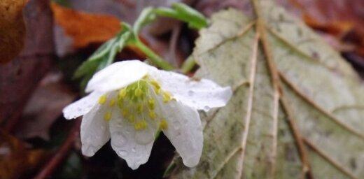 Foto: Laika vērotājs novembrī iemūžina ziedošas baltās vizbulītes