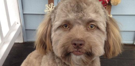 Par sensāciju kļūst suns ar cilvēka seju