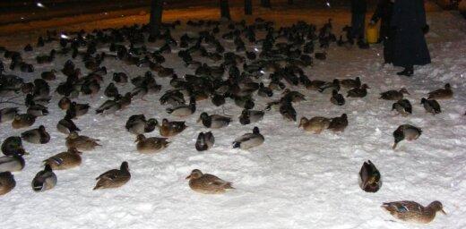 Pīles pārziemo pilsētā