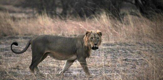 Найдена отличительная черта львов-людоедов