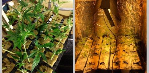 В Риге и Рижском районе в квартирах и на дачах выращивали марихуану