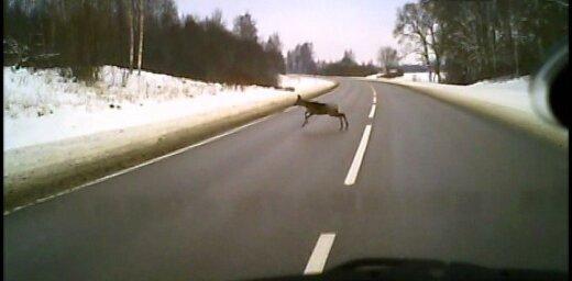 Uzmanību! Savvaļas dzīvnieki!