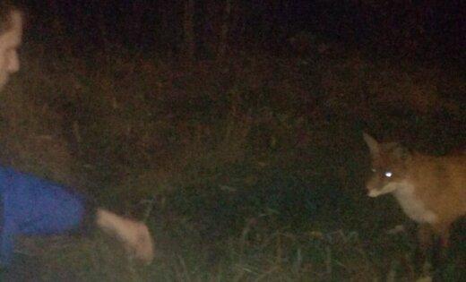 ФОТО: На Югле лисенок кушает корм прямо из рук
