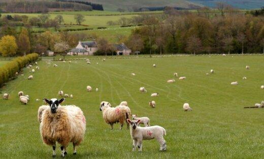 Asociācija: pieprasījums pēc jēra gaļas tuvākajos gados pasaulē turpinās pieaugt
