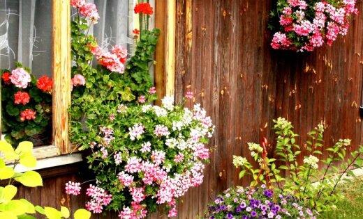 Fotostāsts par skaisti iekoptiem ziedu dārziem Tukumā