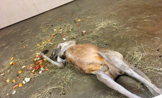 ФОТО: Лежит и не шевелится. Посетителей зоопарка напугал кенгуру, лежащий на полу вверх пузом