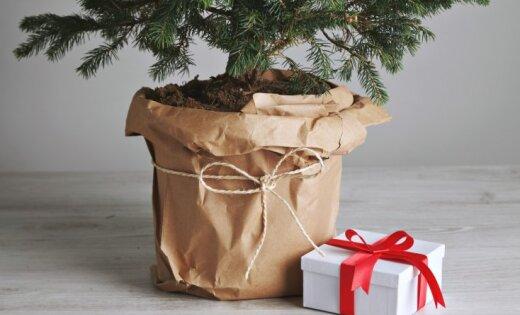 Что делать с новогодней ёлкой? Можно съесть, и не только