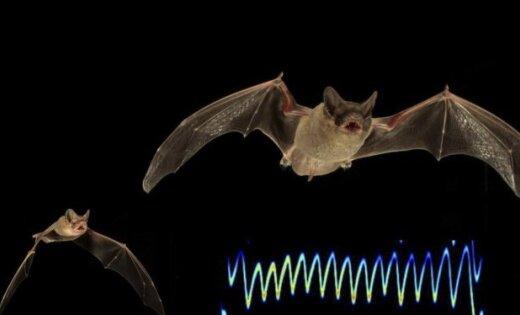 Летучие мыши установили новый рекорд скорости горизонтального полета