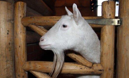 Алексей Славин. О раввине, козе и счастье
