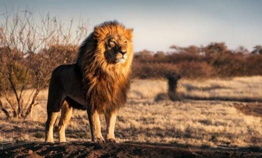 Стая львов съела браконьера в национальном парке ЮАР