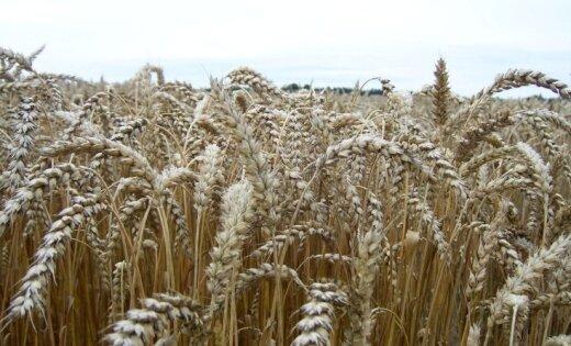 Zemnieki neizpratnē par darba inspekcijas lēmumu ražas novākšanas laikā sākt pārbaudes