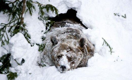 ВМинприроды назвали негодяями убийц медведя вЯкутии