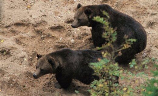 Sadarbībā ar vetārstiem apzina Līgatnes lāču veselībai drošāko pārvietošanu