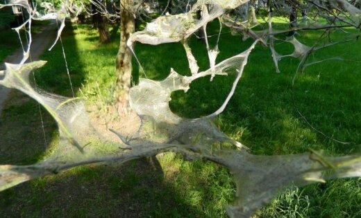ФОТО, ВИДЕО: Весь тротуар в гусеницах: из-за нашествия насекомых в Риге гибнут деревья