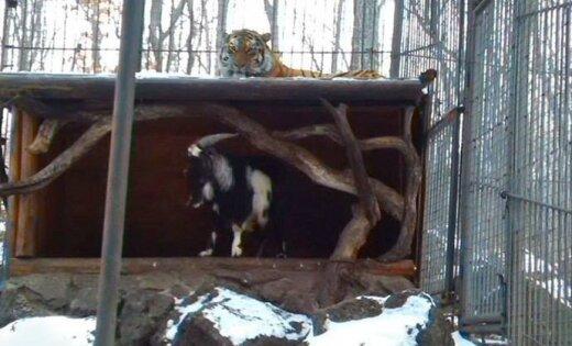 Амурский тигр подружился скозлом, которого должен был съесть