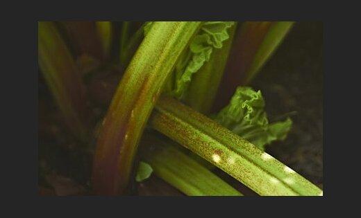 Auglis vai dārzenis? Rabarbers