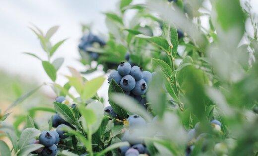 Латвия может! Как Very Berry выводит латвийские соки на мировой рынок