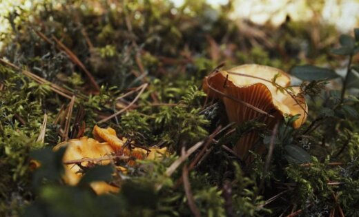 Foto: Lasītāja Tomes mežos atrod beku 'dvīņumāsas'