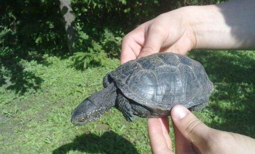Jelgavā atrasts ļoti rets purva bruņurupucis