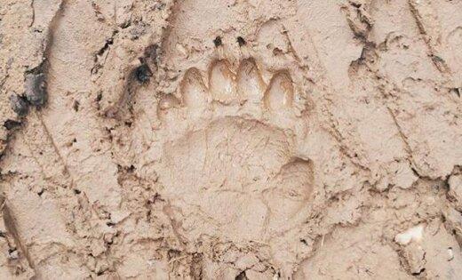 ФОТО: На берегу Салацы побывал бурый медведь