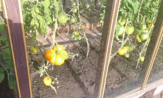 ФОТО: У кого помидор больше? Жители Латвии хвастаются урожаем