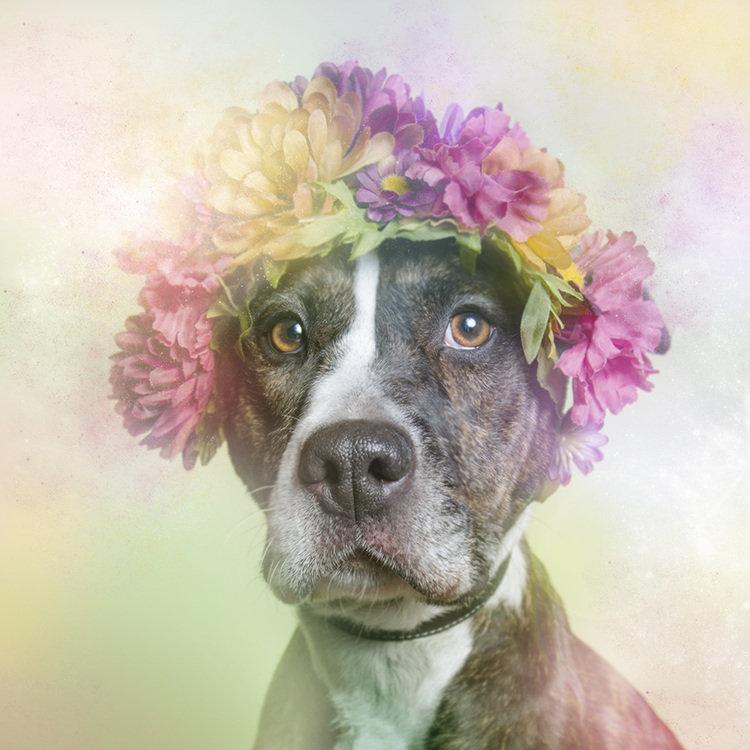 """""""Сила цветов"""": """"хипстерская"""" фотосессия меняет брутальный имидж питбулей"""